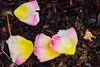 Saturated Petals
