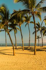 Palm Trees At Waikoloa