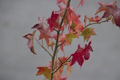 Rote Blätter I