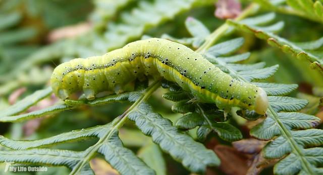 P1090119_2 - Bright-line Brown-eye Caterpillar, Isle of Mull