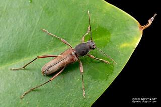 Longhorn beetle (Xylotrechus sp.) - DSC_7489