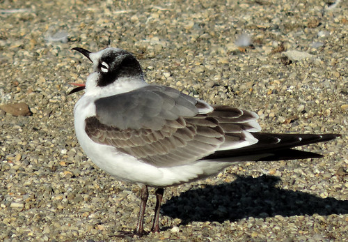 Franklin's Gull yawning