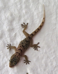 Tenerife Wall Gecko (Tarentola delalandii)