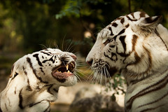 Royal White Tiger, discussion between parents.