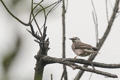 06灰椋鳥