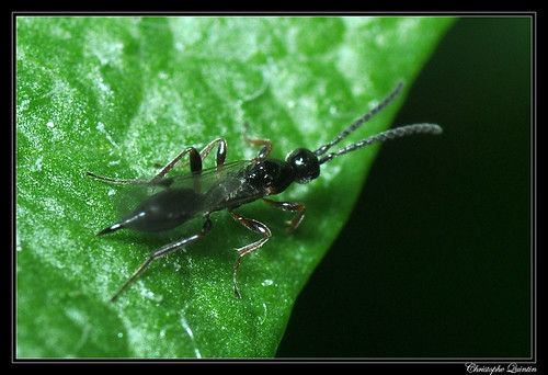 Proctotrupidae