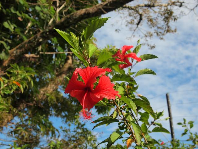 Tahiti flower