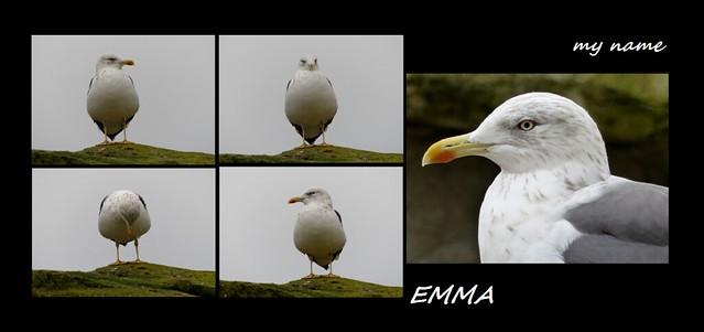 Sturmmöwe</strong>*common gull<strong>*mew gull</strong>*Larus canus