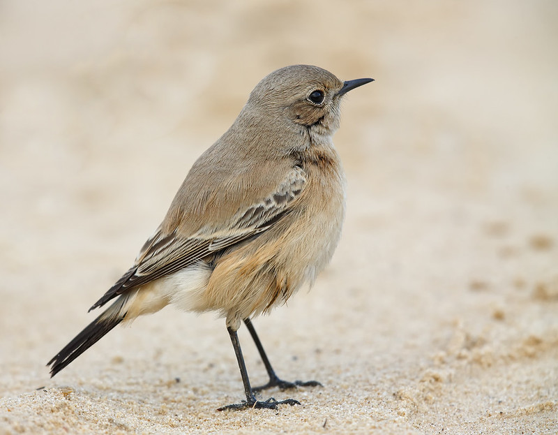 Desert Wheatear [female]
