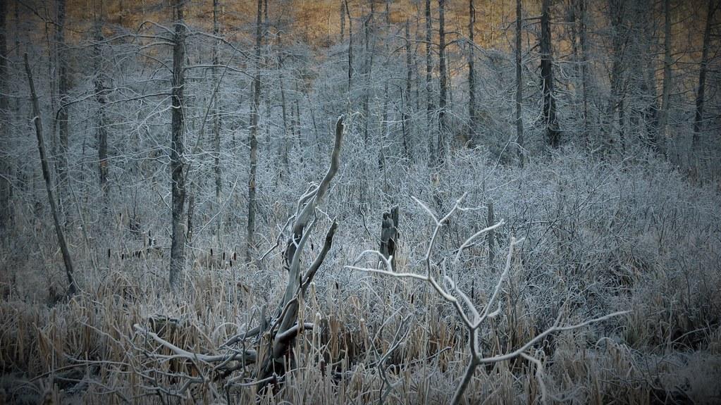 Frosty Bush