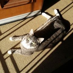 Inara loves to sunbathe #morningsun #lazingaround #catsofinstagram #unfiltered