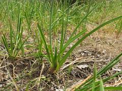 prairie, agriculture, soil, grass, plant, chrysopogon zizanioides, welsh onion, herb, flora,