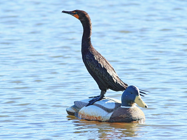 Double-crested Cormorant 20141028