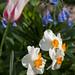 jdy111 bpl mertensia&narcissus&tulipa epl Bgr1Egr Blo RbgbYard Elo XX20110421a0923.jpg