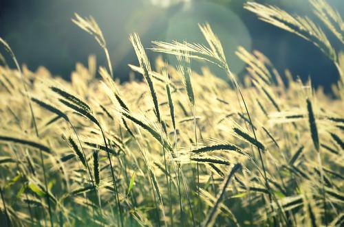 light summer plants sun green nature field sunrise photography photo photos cereal meadow poland polska natura cereals lato