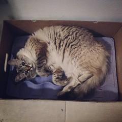 mamãe, essa cama nova é sensacional!!! #instacat #box #catinthebox