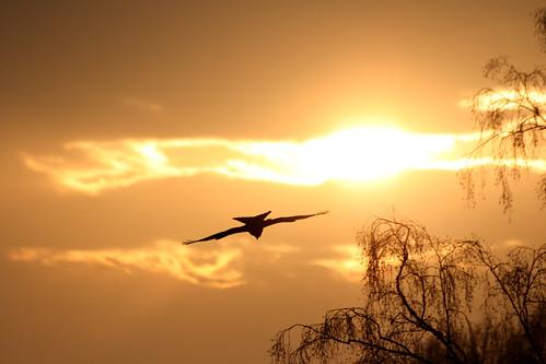 sunset sky orange bird silhouette clouds skåne sweden björk sverige scania birchtree solnedgång kristianstad redkite moln fågel glada hässleholm nävlingeåsen