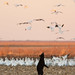 Bear standing looking st snow geese by Mike Dunn NC