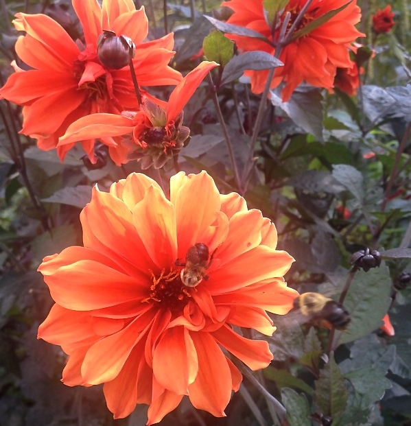 Dahlias at Jarome Park By Ms. Cruz