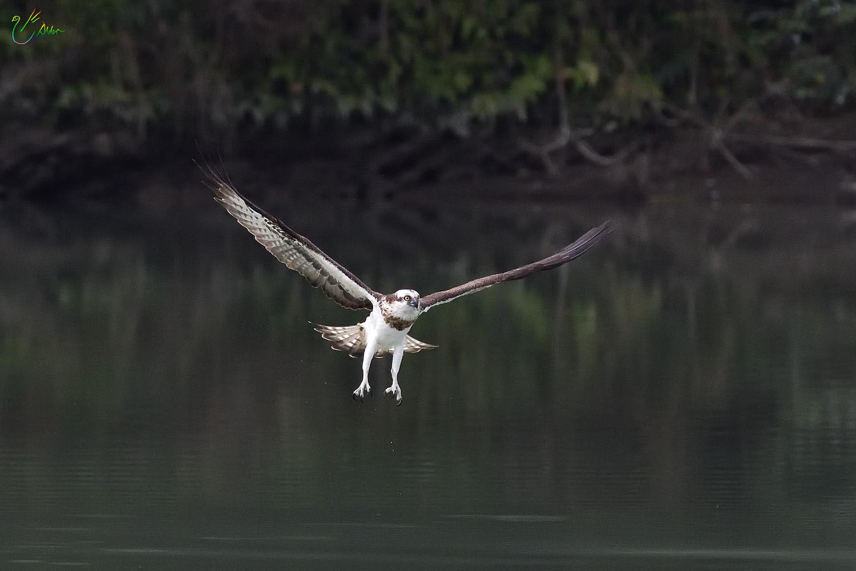 Osprey_2378