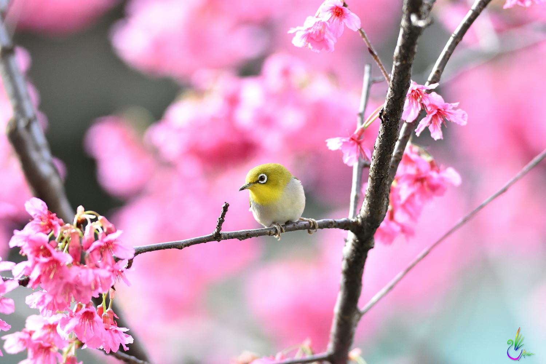 Sakura_White-eye_7994