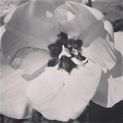 Tulipán. #primavera #spring #love #instagood #beautiful #nature #amazing #beauty #bestoftheday #photo #pretty #flowers #instalove #awesome #white #instago #spring #all_shots #flower #garden #igaddict #plants #floral #flowerstagram #tulip🌷 #tulipán #