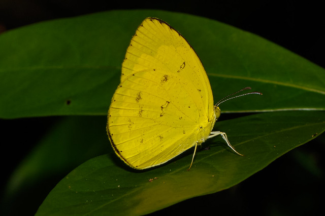 The Common Grass Yellow, Canon EOS 7D MARK II, Canon EF 100mm f/2.8L Macro IS USM