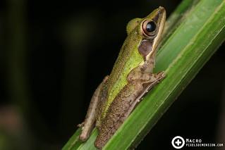 White Lipped Frog- Hylarana cf. labialis)