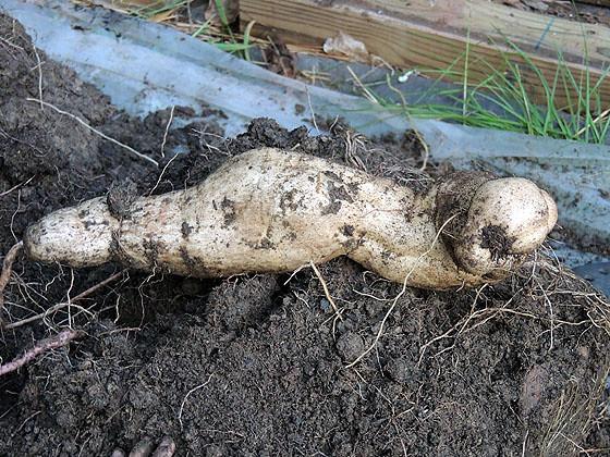 Sweet Potato-12