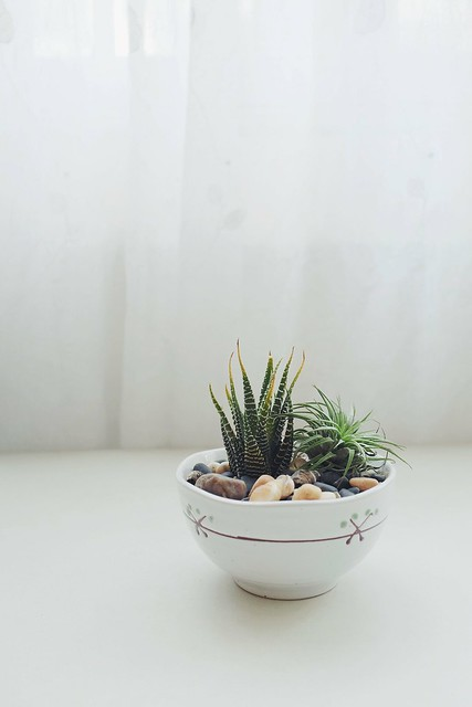 Haworthia plant and an airplant