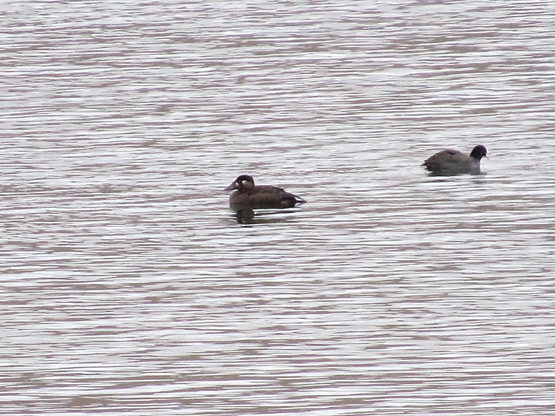 Surf Scoter-Mill Canyon, WA-10-21-2014