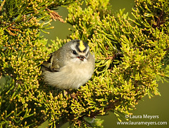 Golden-crowned Kinglet Eating a Seed