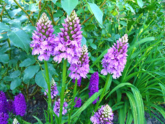 bee balm(0.0), wildflower(0.0), dactylorhiza praetermissa(0.0), flower(1.0), english lavender(1.0), plant(1.0), lilac(1.0), herb(1.0),