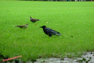 P1060473 Cuervos vaca  (Fukuoka) 12-07-2010 copia