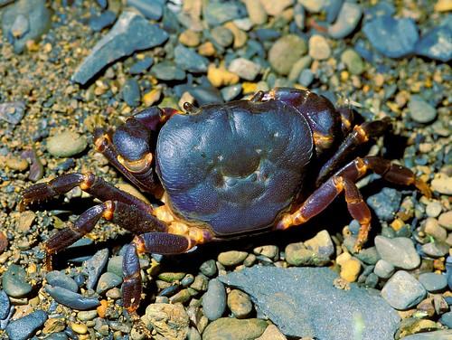 宮崎澤蟹 (Geothelphusa miyazakii) 產於台灣北部,體色藍紫,胸足關節處黃橙色,與台灣其他澤蟹有不同的最近祖先。(圖片攝影:施習德)