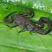 Small photo of Tityus obscurus
