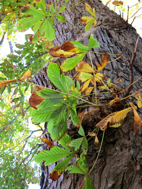 Fall Foraging: Horse Chestnuts
