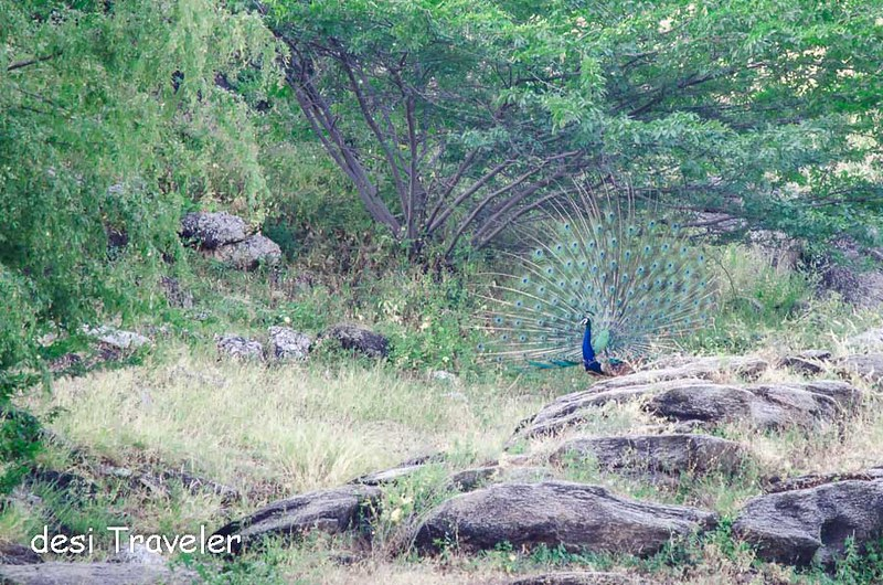 Peacock dancing at Lakshman Sagar