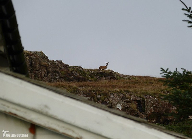 P1090412 - Red Deer, Isle of Mull