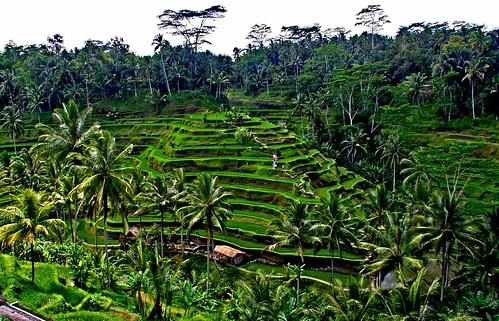 bali indonesia riso
