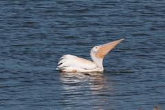 IMG_0739.jpg American White Pelican (Pelecanus erythrorhynchos)