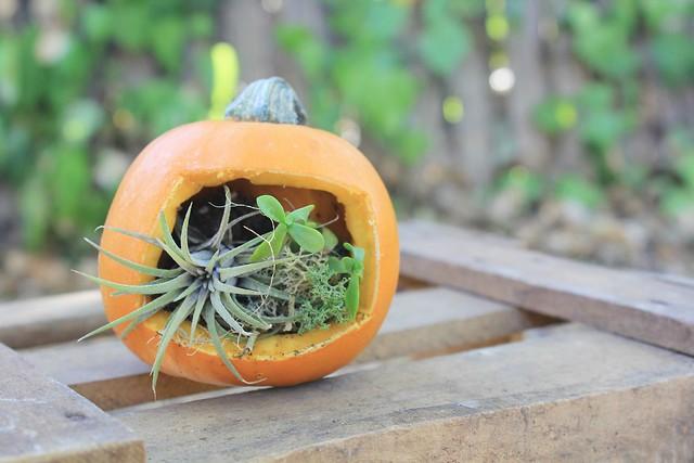 diy: pumpkin terrarium