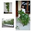 #harvest #time #hydroponic #hidroponik #berkebun #berkebunyuk #kangkung #bayam