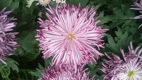 Chrysanthemum Pink Spots