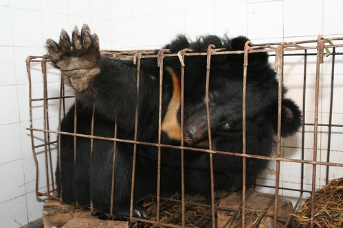 Moon bear Bluebelle endured this tiny cage for years