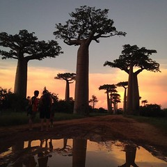 tree, evening, adansonia, dusk, sunset,