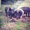 Piggies are getting fat!