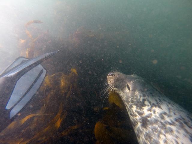 Lundy Island 2014 Seals