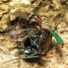 Anthomyiid fly feeding on tiger beetle carcass
