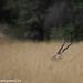 uttampegu posted a photo:Blackbuck in grass at Tal Chhapar, Rajasthan